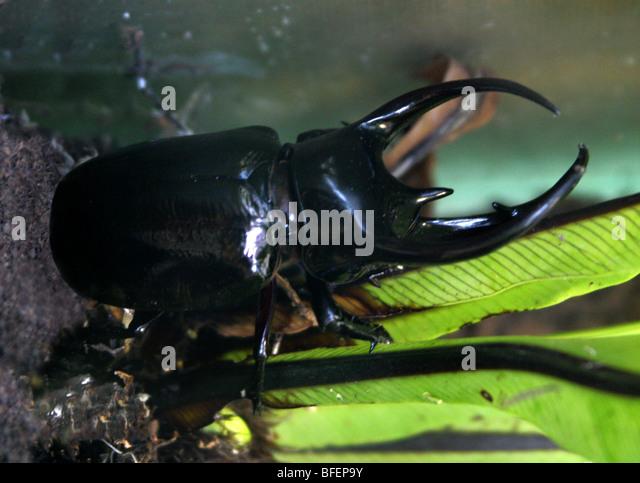 Giant Atlas Beetle Scarabaeidae St...