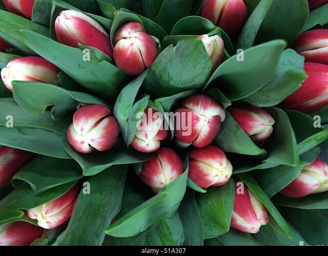 Bouquet of red and white tulips - Stock-Bilder