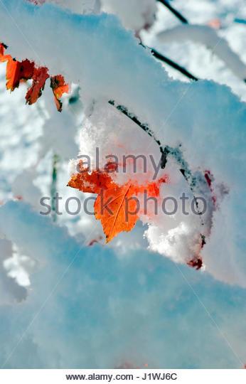 SNOW LIES ON THE AUTUMN COLOUR BRANCHES OF LIQUIDAMBER STYRACIFLUA (SWEET GUM) - Stock Image