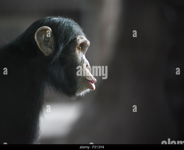 Chimpanzee's funny face looking surprised - Stock Image