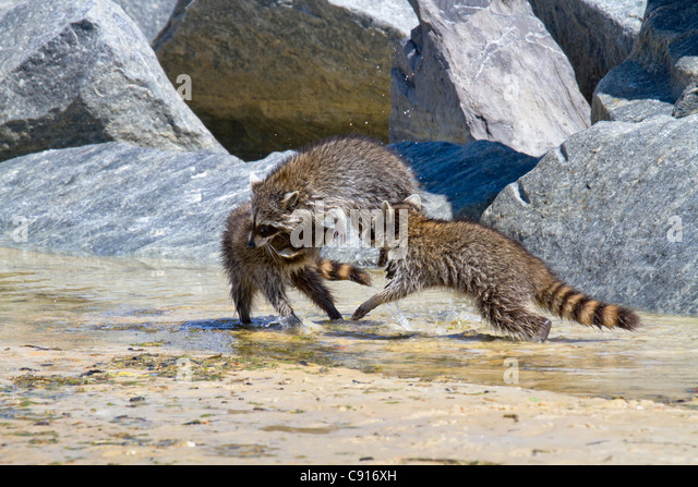 Young raccoons playing - Stock Image