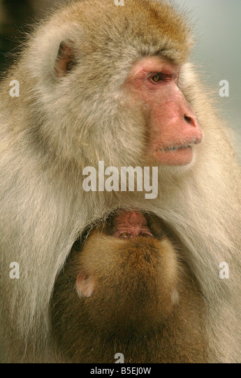 Mother Japanese macaque Macaca fuscata suckling baby Jigokudani Monkey Park Shiga Heights Honshu Island Japan in - Stock Image