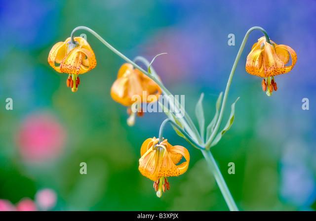 Tiger or Columbian lily lilium columbianum Hurricane Ridge Olympic National Park Washington - Stock Image