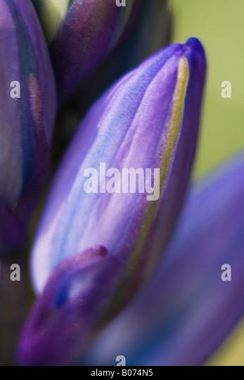 hyacinthaceae hyacinthoides hispanica fausse jacinthe d'espagne - Stock Image