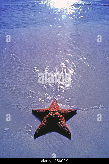 Starfish deserted beach islands summer tropics - Stock Image