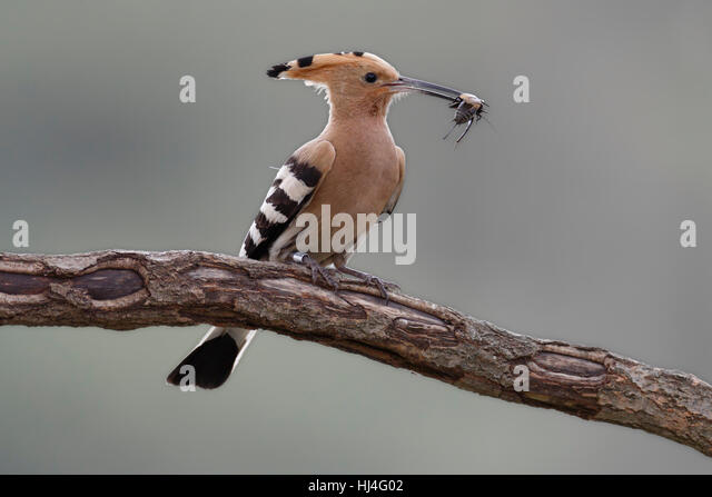 Hoopoe (Upupa epops) with cricket on branch, Middle Elbe Biosphere Reserve, Saxony-Anhalt, Germany - Stock Image