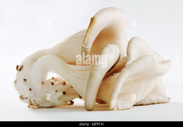 Oyster mushroom shot against a white background - Stock Image