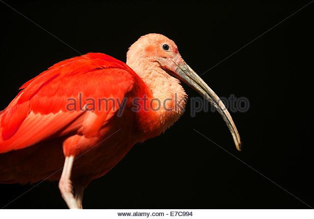 scarlet ibis (Eudocimus ruber) is a species of ibis in the bird family Threskiornithidae. - Stock-Bilder