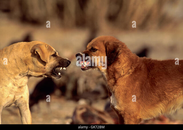 Feral dogs fighting on animal waste dump, (since vulture decline feral dog population has increased) Rajasthan, - Stock Image