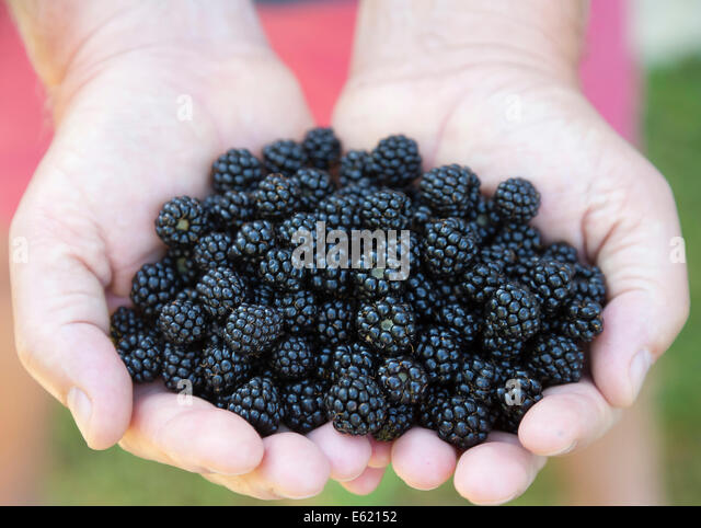 freshly picked wild blackberries held in the hand, with red shorts background - Stock Image