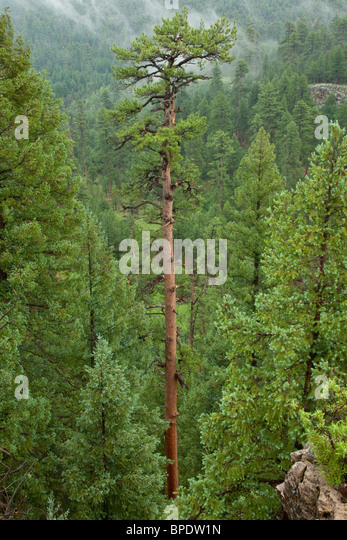 Tall old growth Ponderosa pine growing in, Coconino National Forest, Flagstaff, Arizona, USA - Stock Image