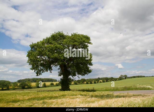A single medium sized oak tree in a Suffolk landscape - Stock Image