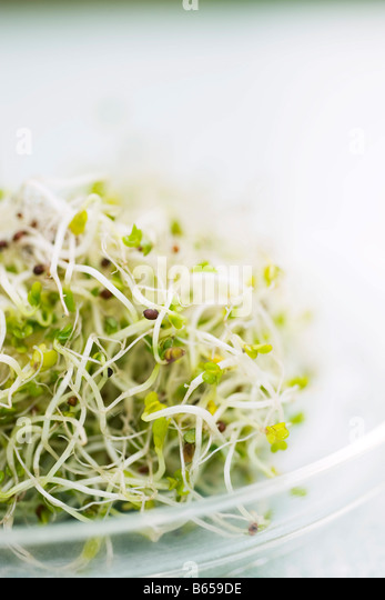 Alfalfa sprouts, close-up - Stock Image