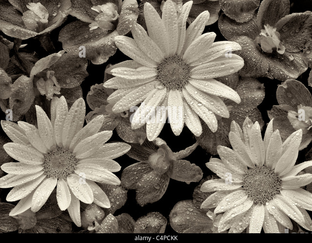 Close of Baladonna flowers and Margerite Daisies with water drops. - Stock Image