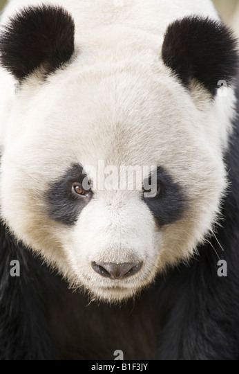 Portrait of Giant Panda Woolong China - Stock Image