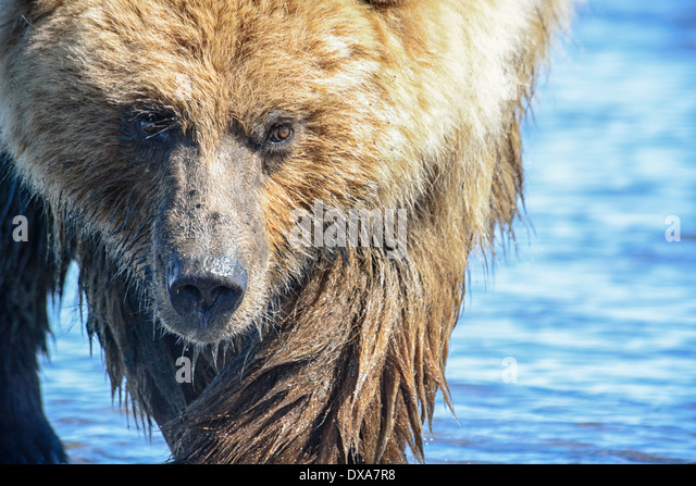 close-up-of-grizzly-bear-face-ursus-arct