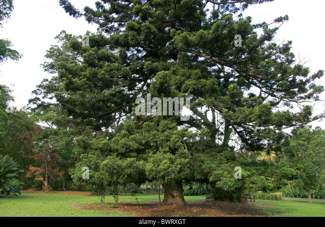 how to grow hoop pine