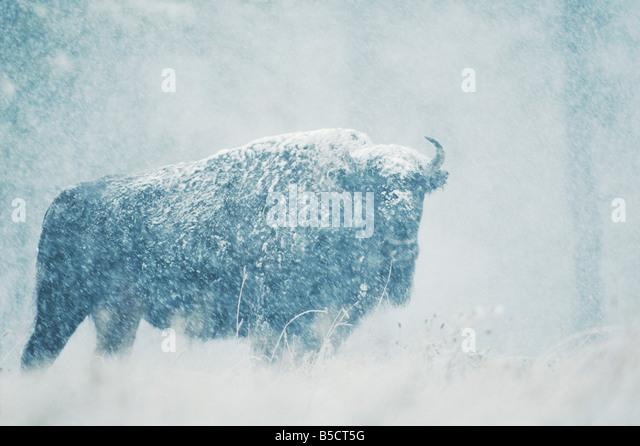 American Bison Buffalo Bison bison adult in snow storm Custer State Park South Dakota USA - Stock-Bilder