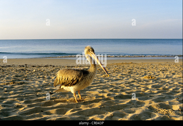 Senegal, pelican on the beach of Sali - Stock Image