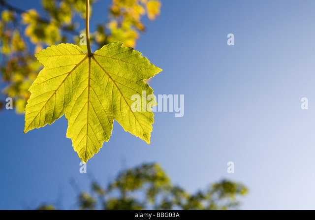 Maple leaf - Stock Image