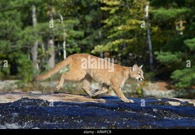Captive mountain lion (cougar) (Felis concolor) crossing a stream, Minnesota Wildlife Connection, Sandstone, Minnesota, - Stock Image