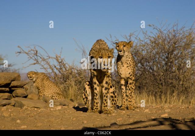 Three Cheetahs, Khomas Hochland, Namibia - Stock Image