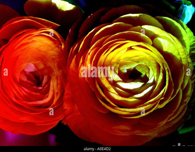 Colorful Flowers - Stock Image