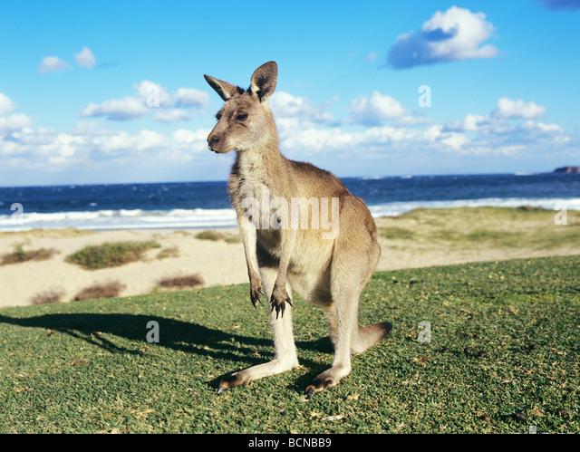 Grey Kangaroo at the beach / Macropus giganteus - Stock Image