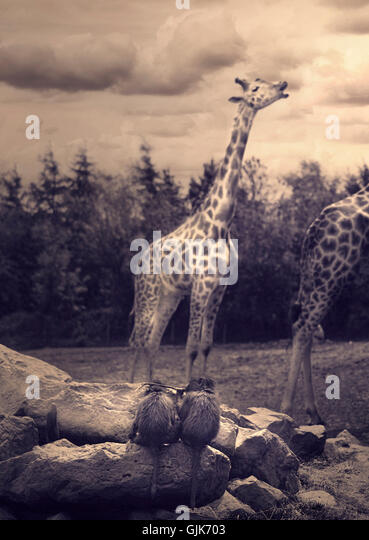 two giraffes and two monkeys in zoo - Stock Image