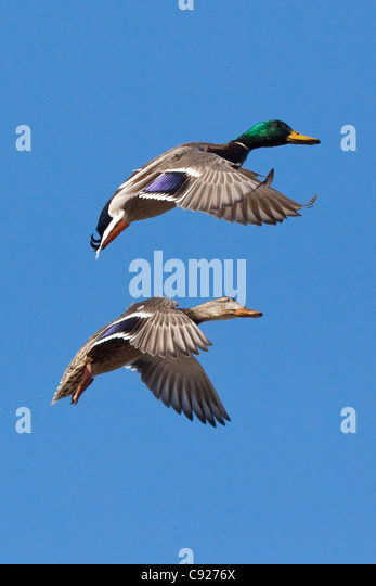 Drake and hen Mallards spread their wings and prepare to land at a small pond in Anchorage, Southcentral Alaska, - Stock Image