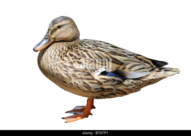 Duck at the zoo, isolated - Stock Image