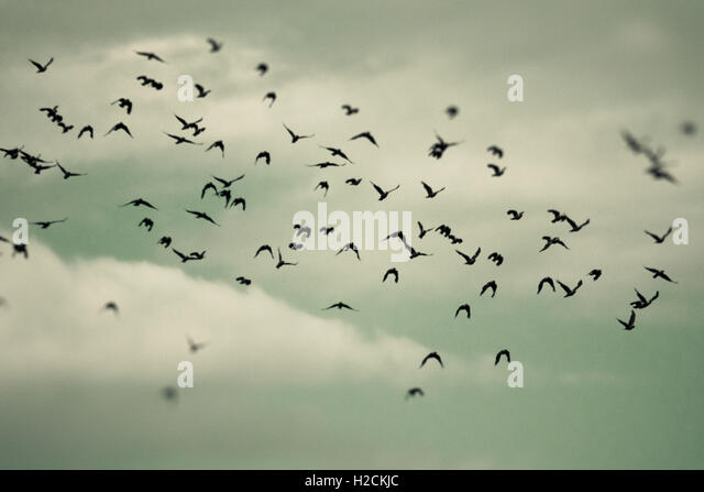 Flock of birds flying in the sky. Selective focus. Dark, mysterious and moody setting. - Stock-Bilder