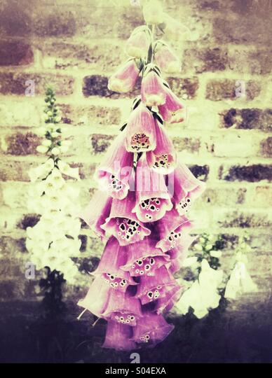 Pink foxglove flowers with grunge effect - Stock Image