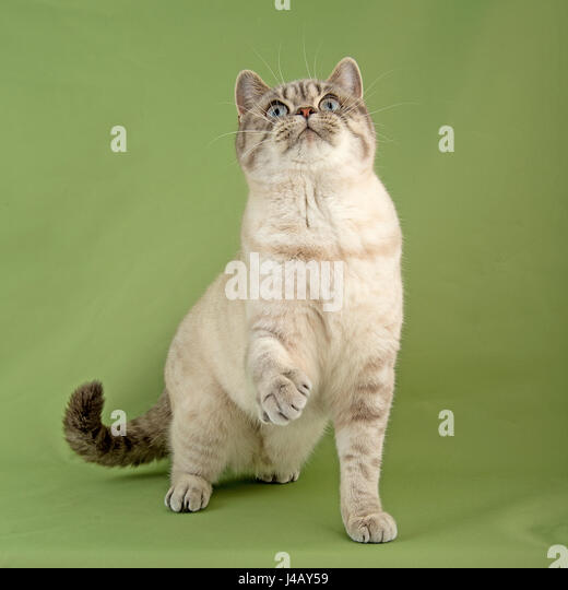british shorthaire cat - Stock Image