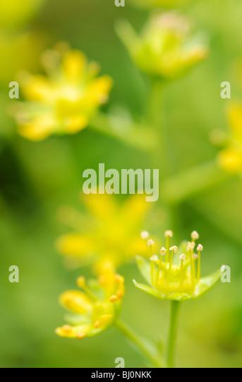close-up of saxifrage on russian kola peninsula - Stock Image