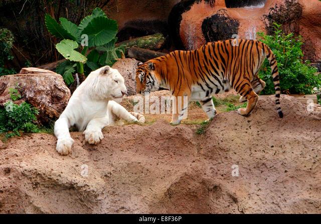 Tigers, Loro Parque, Tenerife, Canary Islands, 2007. - Stock Image
