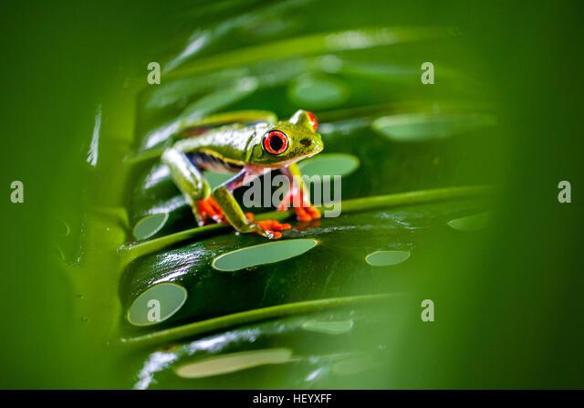 Red-eyed Tree Frog - La Laguna del Lagarto Lodge - Boca Tapada, San Carlos, Costa Rica [Controlled Specimen] - Stock Image