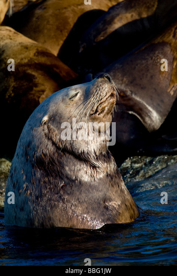 Sea lion basking in sun. - Stock Image