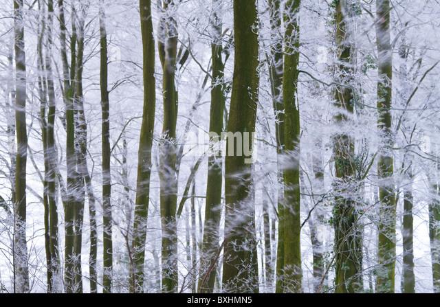 Winter trees & frost, Gloucestershire, UK - Stock Image