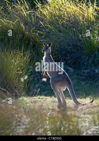 Grey Kangaroo Macropus giganteus Queensland Australia - Stock Image