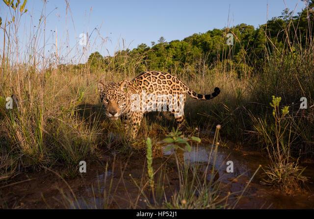 Jaguar exploring a grassland in the Cerrado - Stock Image