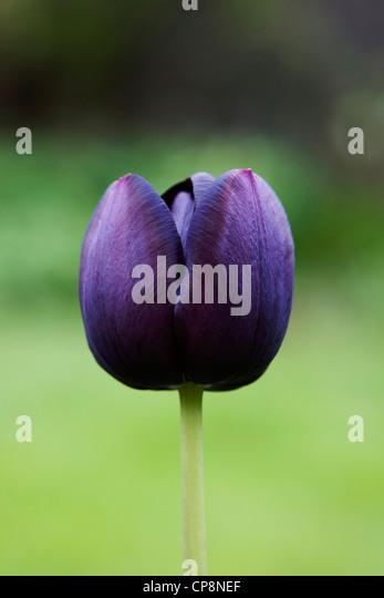 Single Tulipa 'Queen of the Night'. - Stock Image