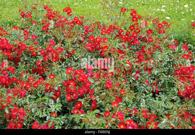 ground cover roses stock photos ground cover roses stock. Black Bedroom Furniture Sets. Home Design Ideas