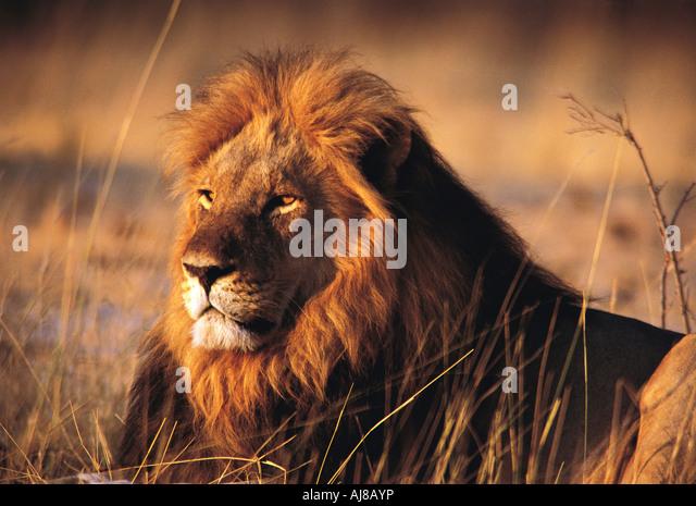 Portrait of a fine heavily maned male Lion Hwange National Park Zimbabwe - Stock Image