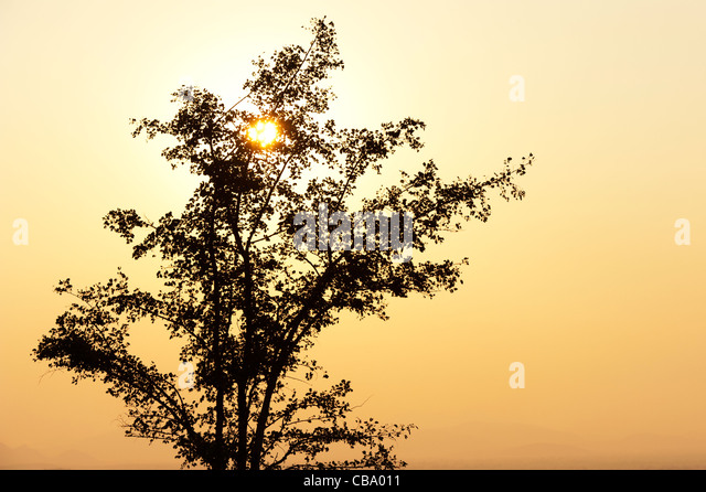 Indian tree in the countryside at sunset. Andhra Pradesh, India. Silhouette - Stock Image