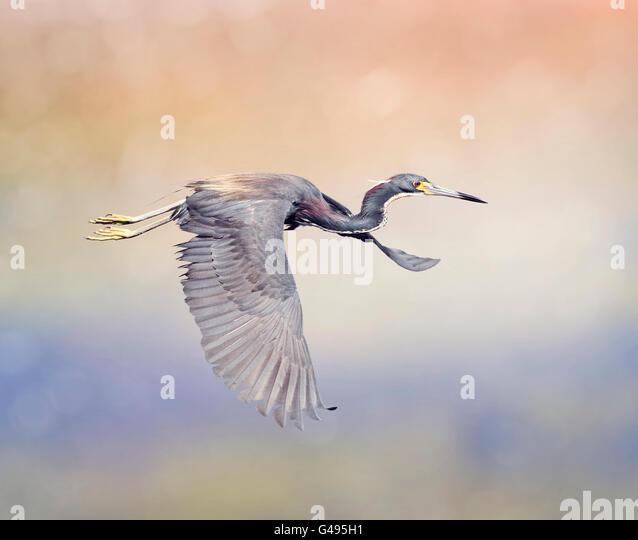 Tricolored Heron in Flight In Florida Wetlands - Stock-Bilder