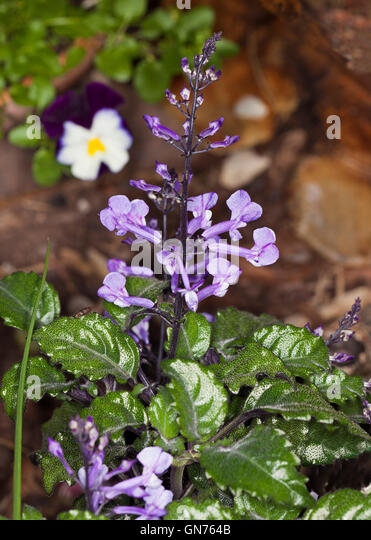 plectranthus flowers stock photos plectranthus flowers stock images alamy. Black Bedroom Furniture Sets. Home Design Ideas