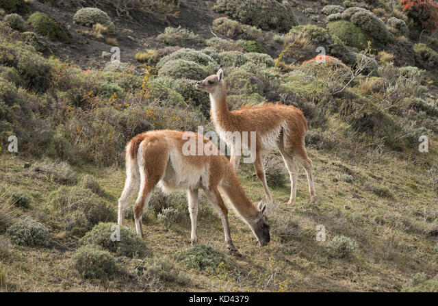Two Guanacos from Torres del Paine National Park, Chile - Stock Image