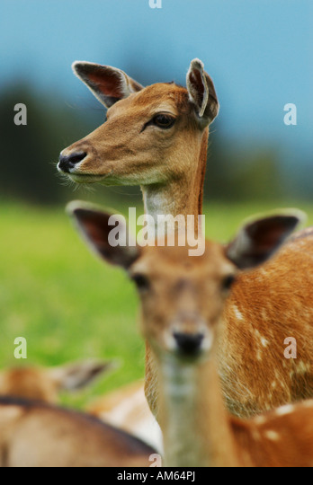 Fallow Deer (Dama dama) - Stock Image