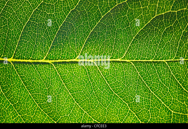 Green leaf texture in sunshine, macro - Stock Image